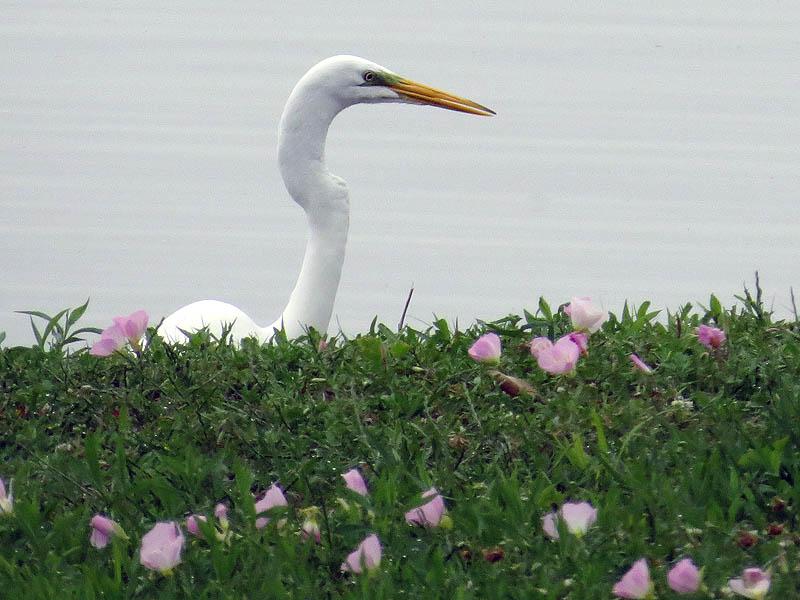 Great Egret - Looking Over