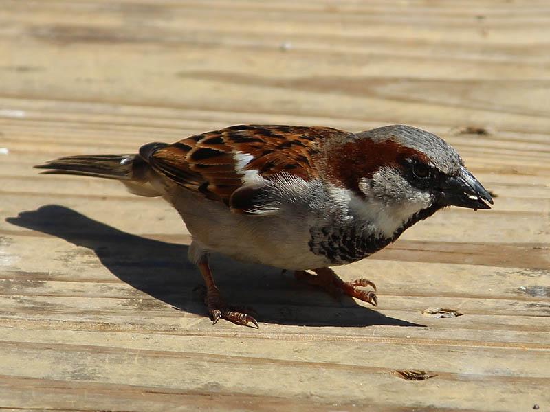 House Sparrow - Seed Eater
