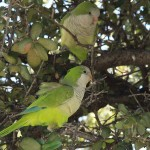 Monk Parakeet - Bad Taste
