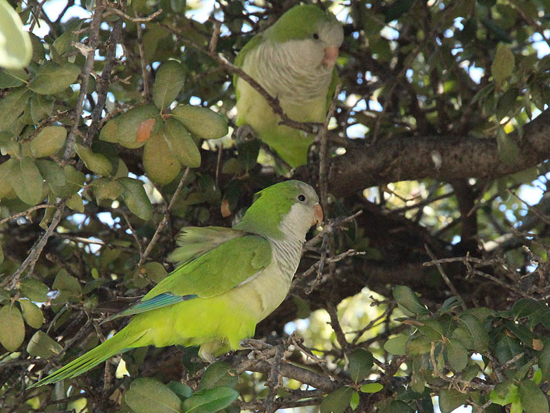 Monk Parakeets in Addison, Texas.