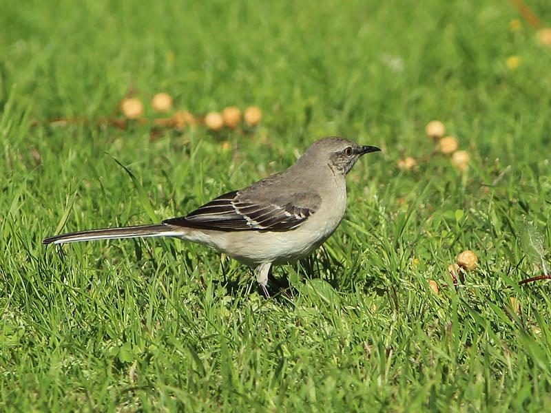 Northern Mockingbird - Seedpod