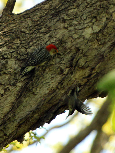 Red-bellied Woodpecker - Interaction
