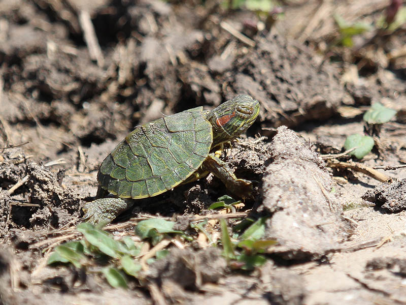 Red-eared Slider - Intrepid