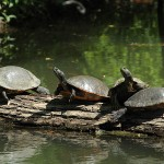 Red-eared Slider - Lake Party
