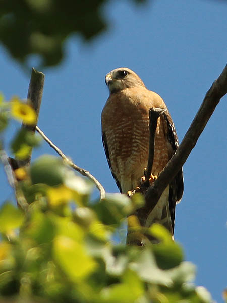 Red-shouldered Hawk - White Rock Lake
