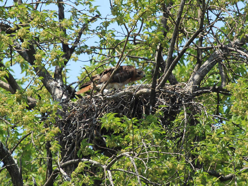 The female hawk at the nest.