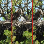 Red-tailed Hawk – Baylor Nest Update 10