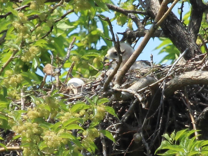 Here the young hawk is manipulating a twig with his beak.  Note the egg shell on the rim of the nest in front of him.