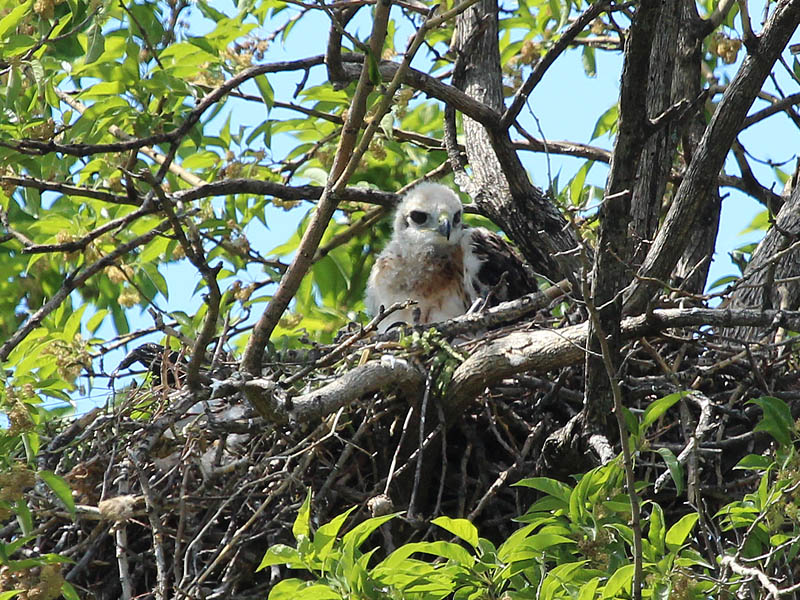 Red-tailed Hawk - Baylor Nest Update 11