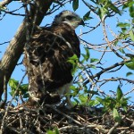 Red-tailed Hawk - Baylor Nest Update 12