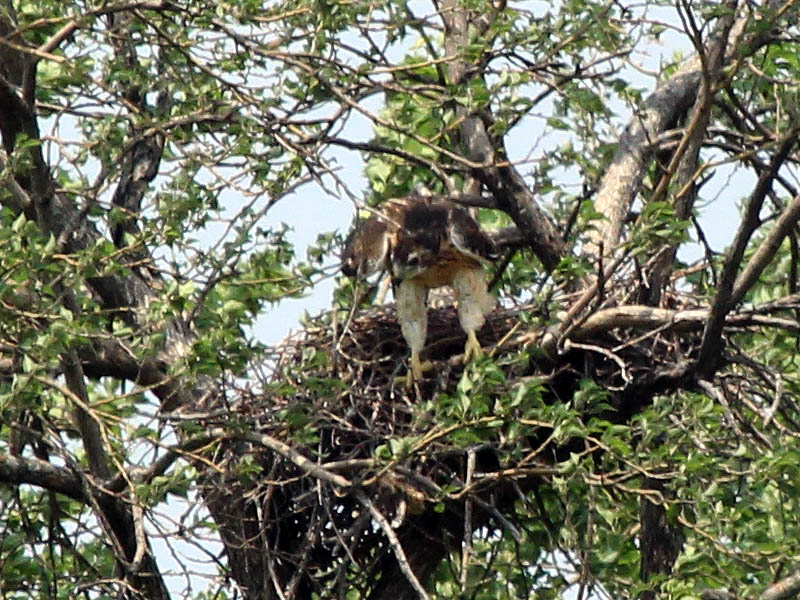 Red-tailed Hawk – Baylor Nest Update 13