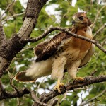 Red-tailed Hawk - Baylor Nest Update: The Last