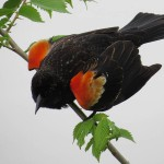 Red-winged Blackbird - White Rock Lake