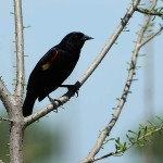 Red-winged Blackbird - Domain