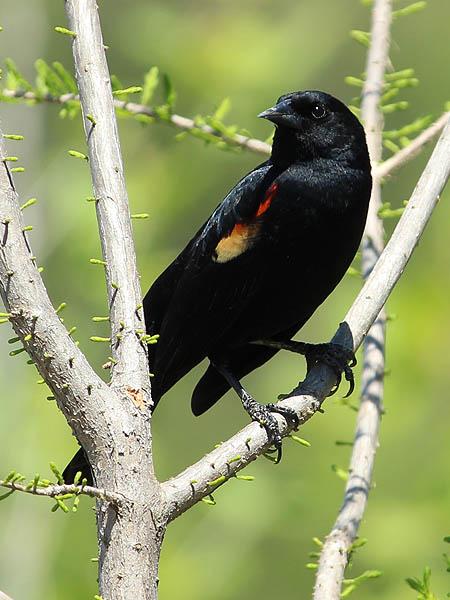 Red-winged Blackbird - Domain