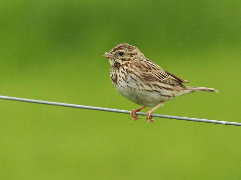 Savannah Sparrow - Green and Yellow