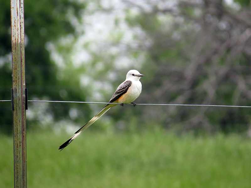 Scissor-tailed Flycatcher - Summer Will Be Here Soonscissore-tailedflycatcher-summerwillbeheresoon-001