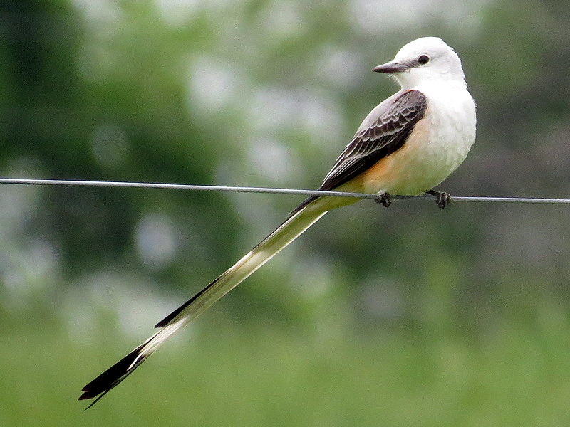 Scissor-tailed Flycatcher - Summer Will Be Here Soon