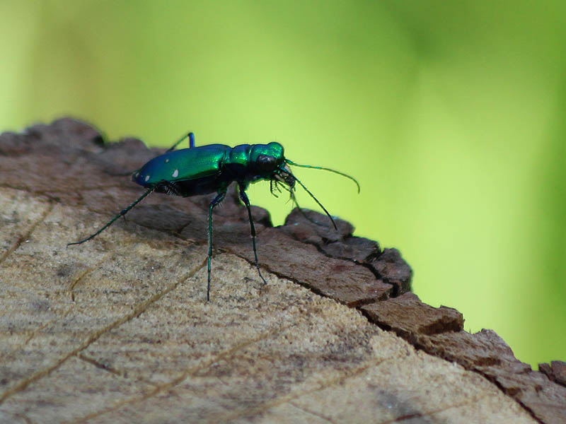 Six-spotted Tiger Beetle - Tree Stumps