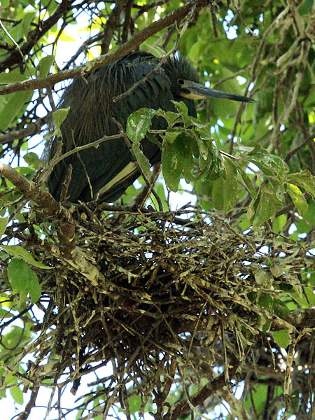 Tricolored Heron – UTSWMC Nest Update 3