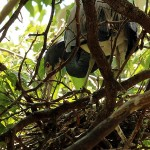 Tricolored Heron– UTSWMC Nest Update 5