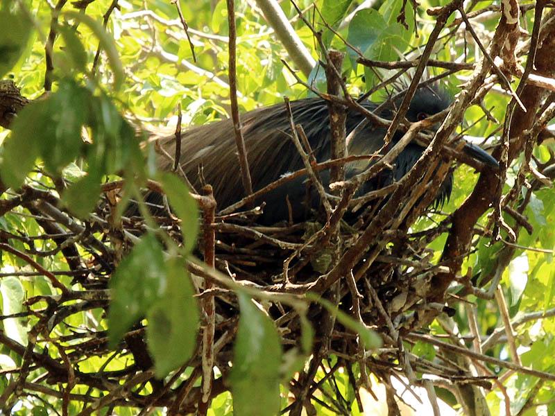 Tricolored Heron– UTSWMV Nest Update 5