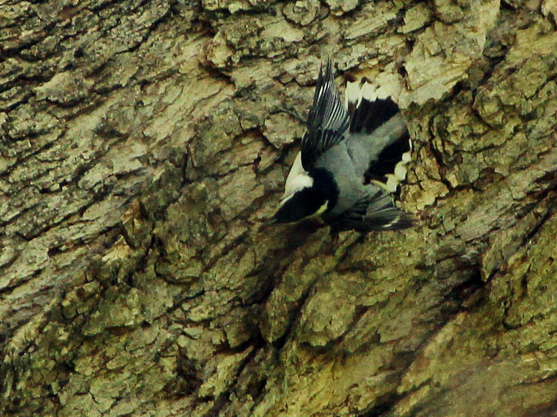 White-breasted Nuthatch - Bug Collecting