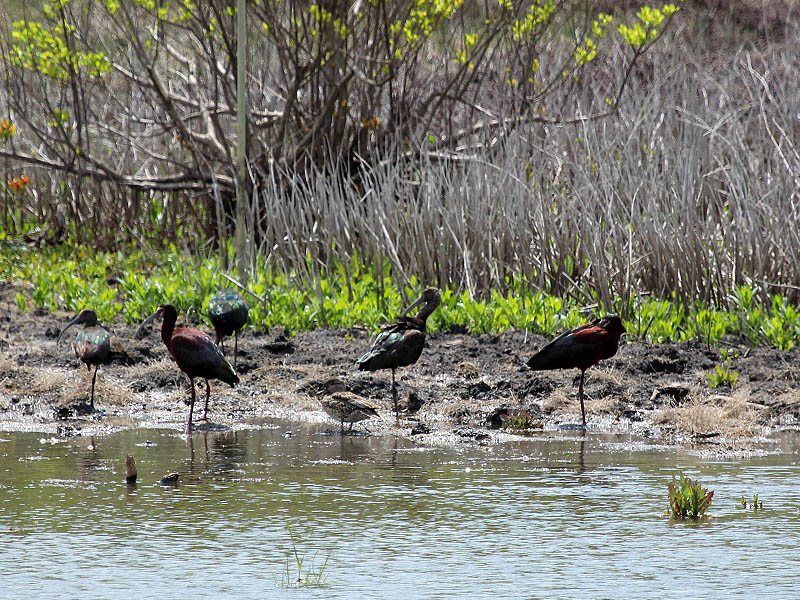 White-faced Ibis - A Wish List Bird