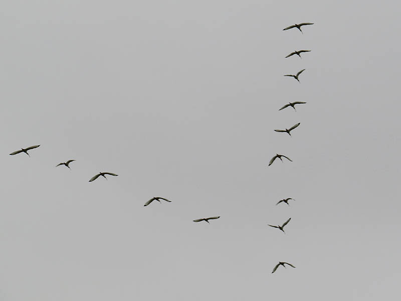 White Ibis - Flying Wedge