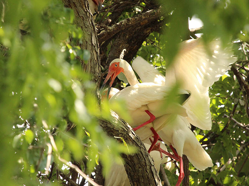 White Ibis - UTSWMC Nest Update 4