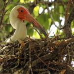 White Ibis - UTSWMC Nest Update 5
