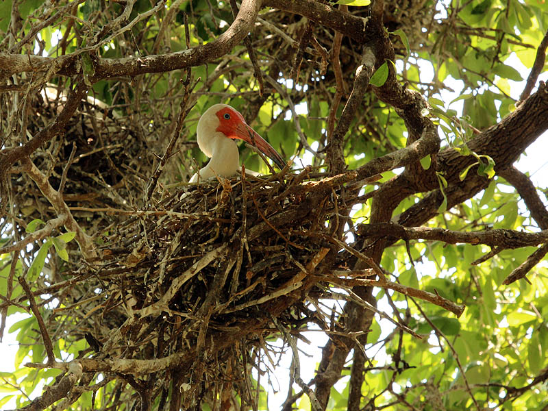 White Ibis - UTSWMV Nest Update 5