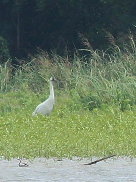 Whooping Crane - Week Four
