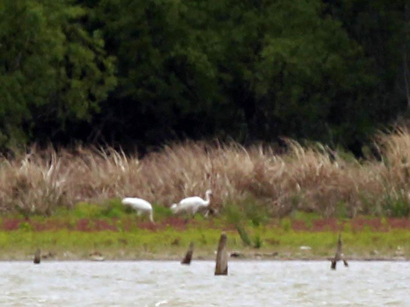 Whooping Crane - Lake Ray Hubbard Follow Upwhoopingcrane-lakerayhubbardfollowup-003Whooping Crane - Lake Ray Hubbard Follow Up