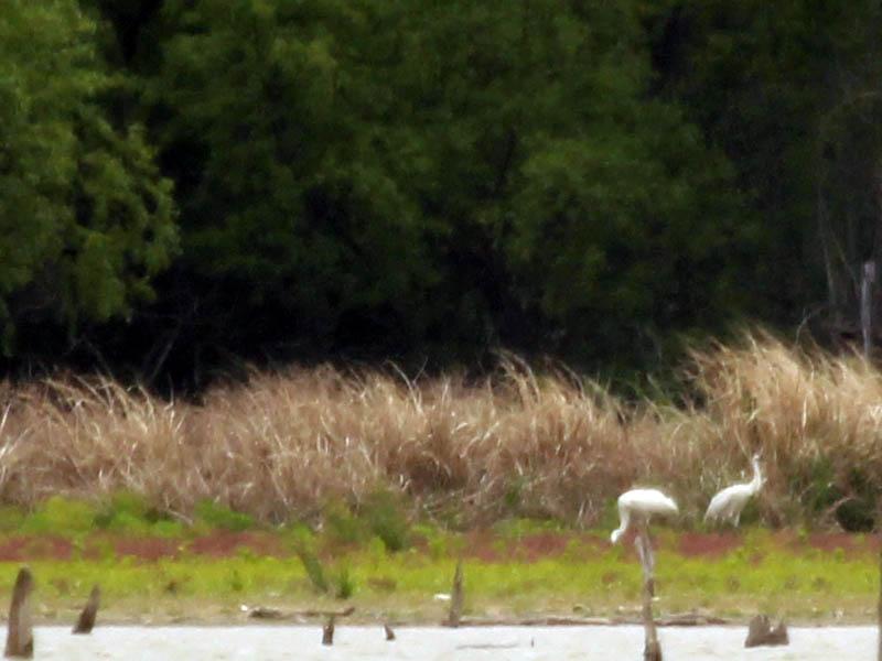Whooping Crane - Lake Ray Hubbard Follow Up
