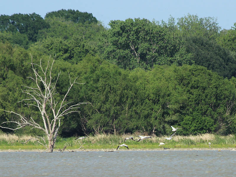 A group of American White Pelicans flies by the Whooping Cranes as they forage along the shore.