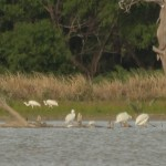 Whooping Crane - Still There