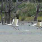 Whooping Crane - Week One