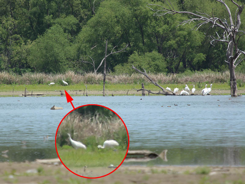 A pair of Whooping Cranes (indicated by the arrow) passing by a larger congregation of American White Pelicans.