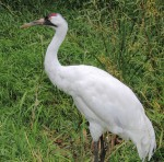 Whooping Crane - Week Two