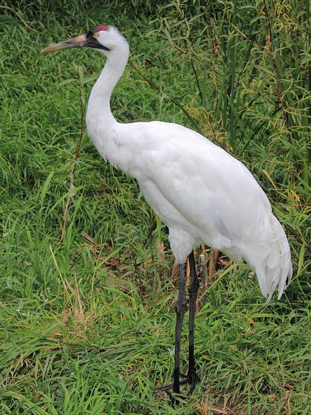 Whooping Crane
