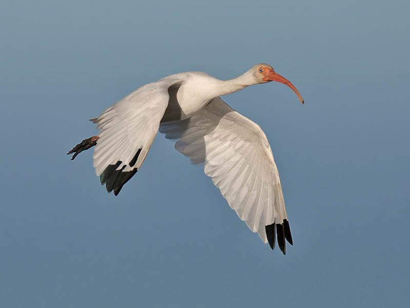 A White Ibis in flight.