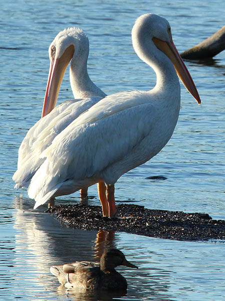 American White Pelican.  There are a number of these at Lake Ray Hubbard.