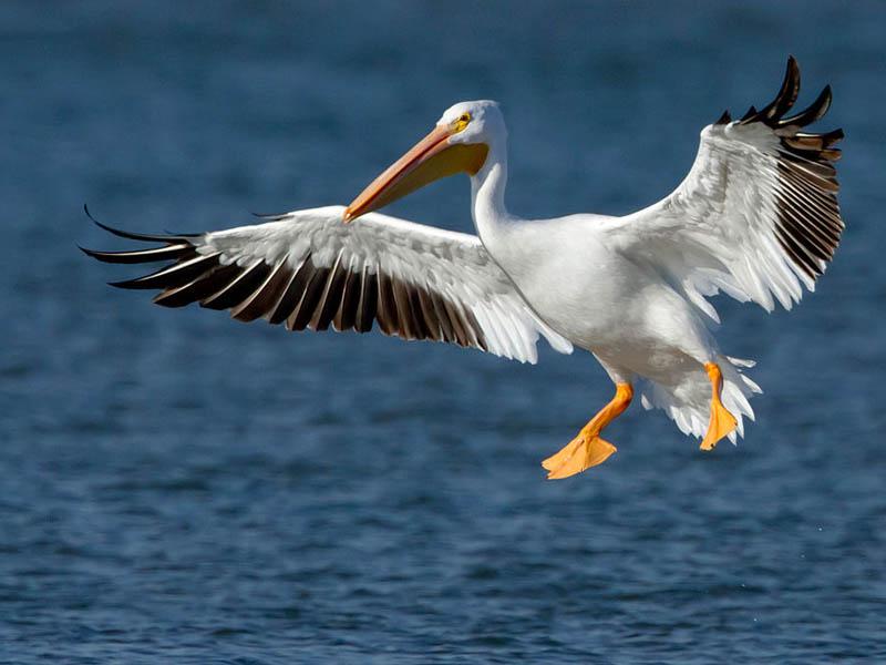 An American White Pelican in flight.