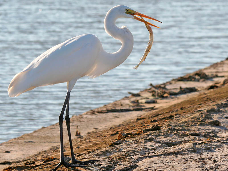 Great Egret.  These an other smaller white egrets are frequently seen in the same vicinity as the Whooping Cranes at Lake Ray Hubbard.