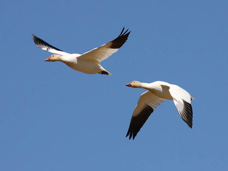Snow Geese in flight.