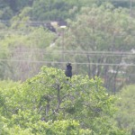 Anhinga - From the Archives
