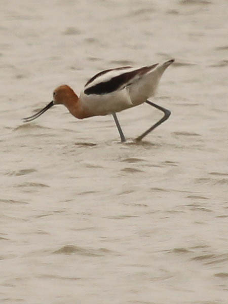 American Avocet - Lake Ray Hubbard