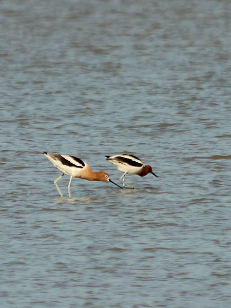 American Avocet - Protective