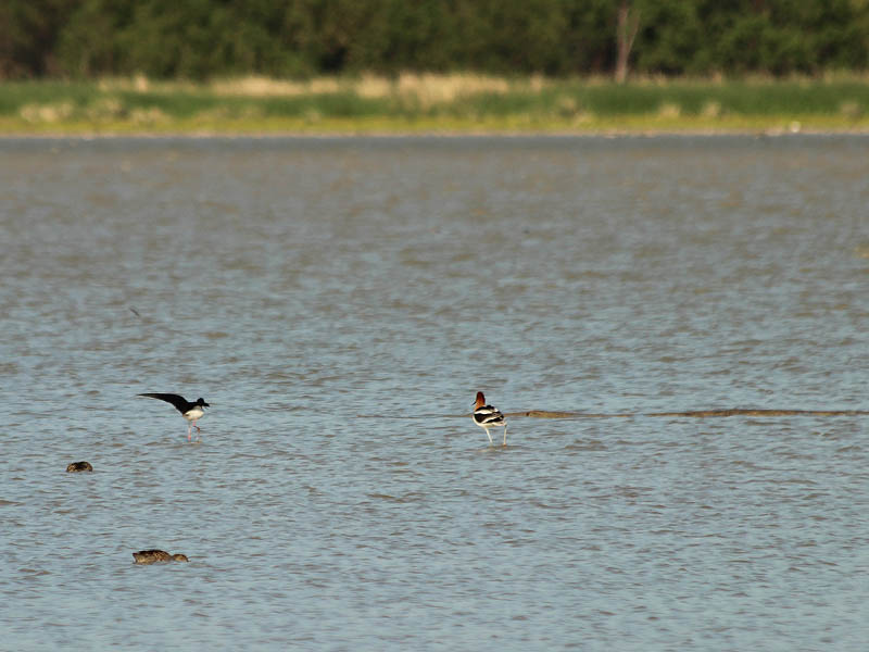 Here an American Avocet takes notice of the Black-necked Stilt's intrusion.